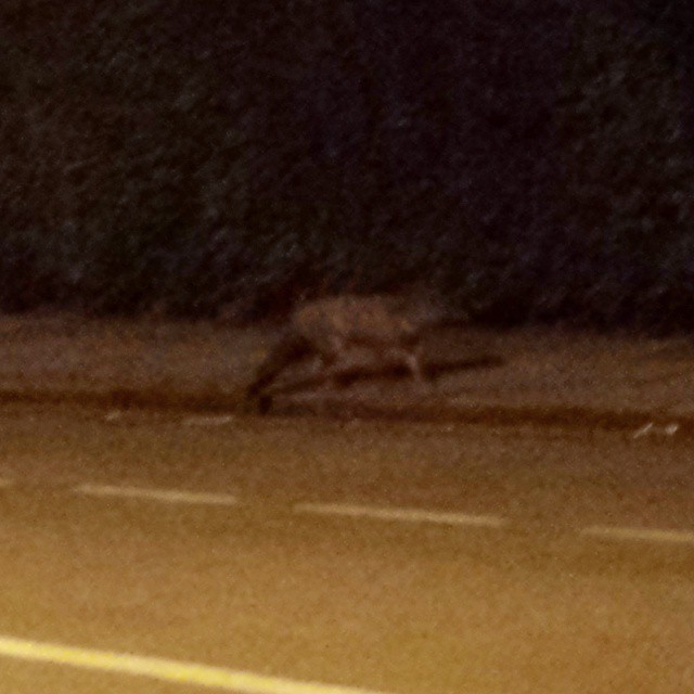 It's not Big Foot, it's an urban #fox. One day I'll be able to get a decent photo of one. #London